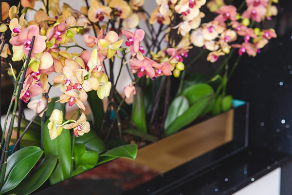 ghiveci_orhidee